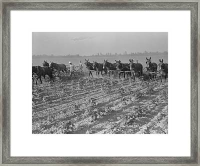 Men And Mules Cultivating Cotton Framed Print by Everett