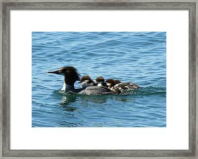 Merganser And Her Chicks Framed Print