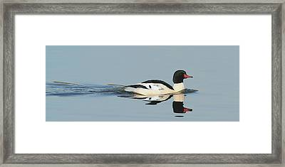 Merganser Panorama Framed Print