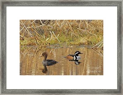Merganser Spring Framed Print by Natural Focal Point Photography