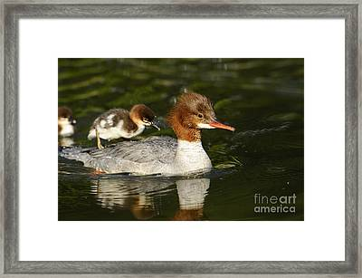 Merganser With Duckling Framed Print by David & Micha Sheldon