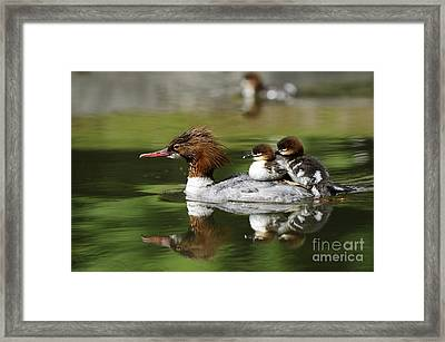 Merganser With Ducklings Framed Print by David & Micha Sheldon