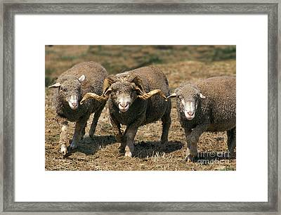 Merino Darles Sheep Framed Print by Gerard Lacz