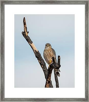Merlin On A Burnt Branch Framed Print by Loree Johnson