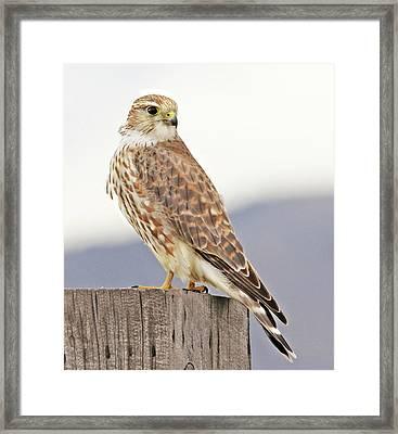 Merlin Prairie Falcon Framed Print by Jennie Marie Schell