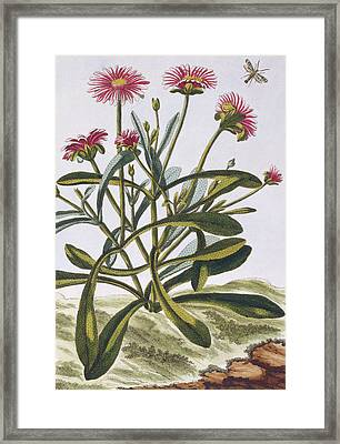 Mesembryanthemum Framed Print by Pierre-Joseph Buchoz
