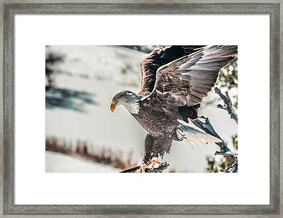 Metallic Bald Eagle  Framed Print
