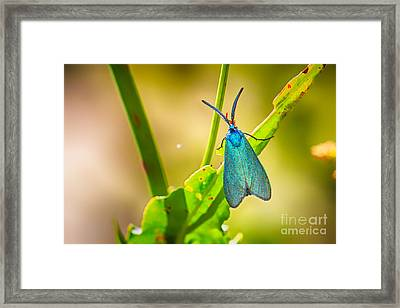Metallic Forester Moth Framed Print by Jivko Nakev