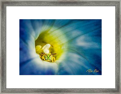 Metallic Green Bee In Blue Morning Glory Framed Print by Rikk Flohr
