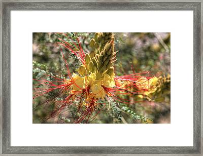 Mexican Bird Of Paradise Framed Print by Donna Kennedy