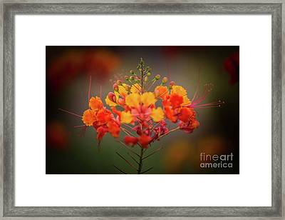 Mexican Bird Of Paradise Framed Print by Doug Sturgess