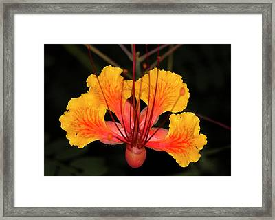 Mexican Bird Of Paradise Framed Print by Jim Painter