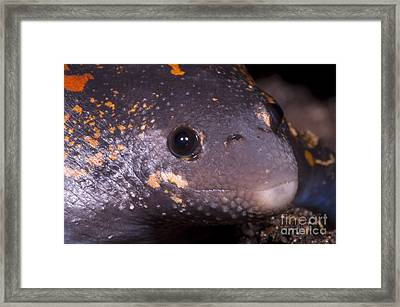 Mexican Burrowing Toad Framed Print by Dante Fenolio