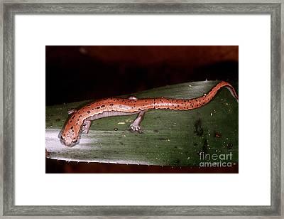 Mexican Palm Salamander Framed Print by Dante Fenolio