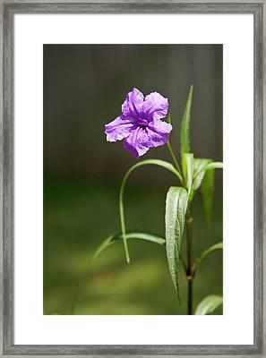 Mexican Petunia 2 Framed Print