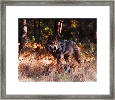 Mexican Red Wolf Framed Print by DiDi Higginbotham