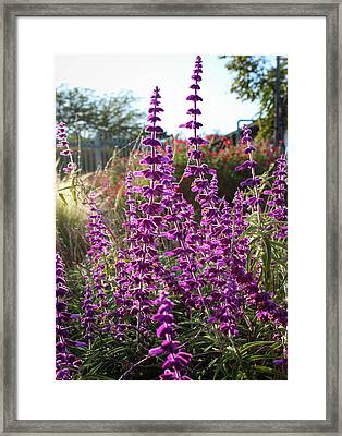 Mexican Sage Framed Print