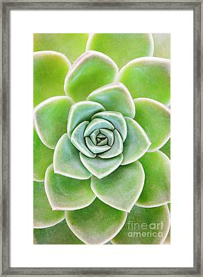Mexican Snowball Succulent  Framed Print by Neil Overy