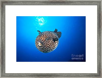 Mexico Guineafowl Puffer Framed Print by Dave Fleetham - Printscapes