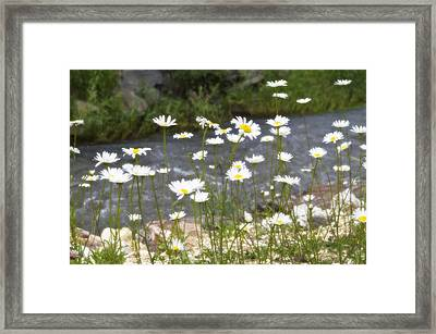 Mickelson Trail Daisies Framed Print