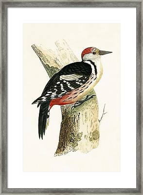Middle Spotted Woodpecker Framed Print