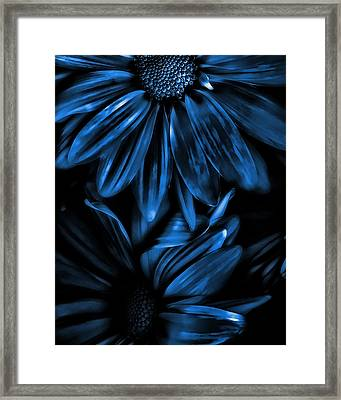 Midnight Blue Gerberas Framed Print by Bonnie Bruno