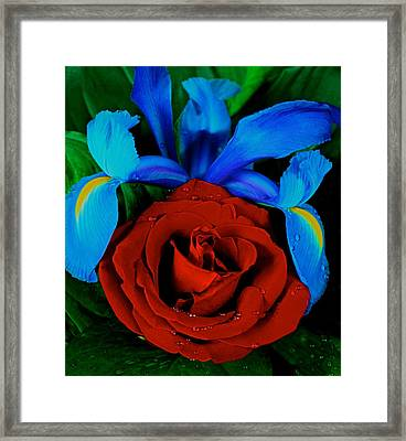 Midnight Blue Iris And A Red Rose Framed Print by Leslie Crotty