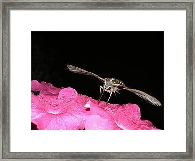 Midnight Hummer Framed Print
