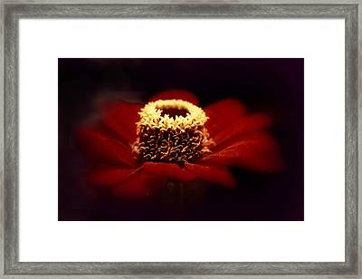 Midnight Zinnia Framed Print by Jessica Jenney