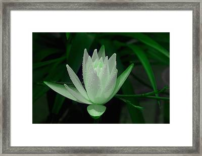 Midnite Lilly In Limelight Framed Print by Debbie May