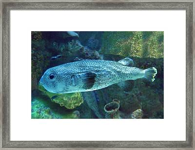 Mighty Blue Puffer Framed Print