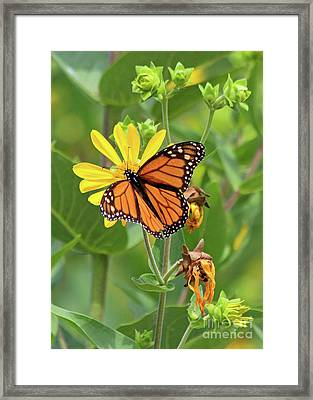 Mighty Monarch   Framed Print