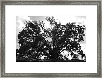 Mighty Old Oak Black And White Framed Print by Carol Groenen