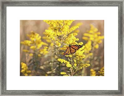 Migrating Monarch Butterfly Moses Cone Memorial Park North Carolina Framed Print by Mark VanDyke