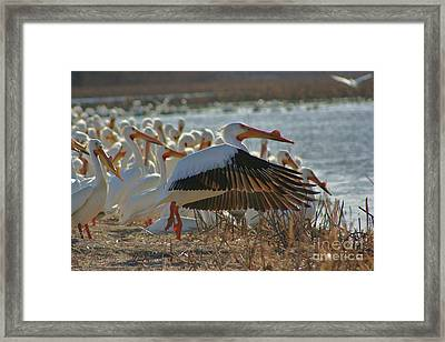 Migrating Pelicans  Framed Print by Shari Morehead