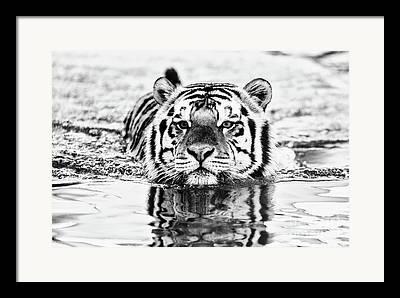 Mike The Tiger Framed Prints