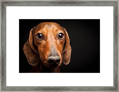 Mike The Dachshund Framed Print by Steven Green