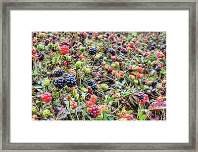 Miles Of Blackberries Framed Print