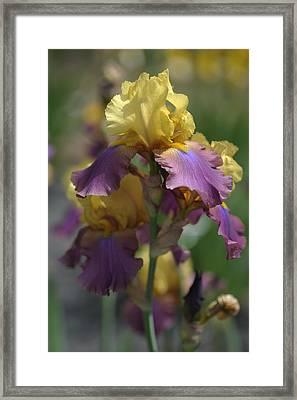 Milestone.the Beauty Of Irises Framed Print