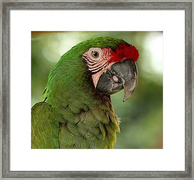 Military Macaw Framed Print