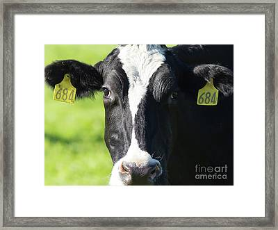 Framed Print featuring the photograph Milk Cow At Point Reyes National Seashore California 5dimg9301912 by Wingsdomain Art and Photography