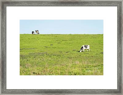 Framed Print featuring the photograph Milk Cow At Point Reyes National Seashore California Dsc4882 by Wingsdomain Art and Photography