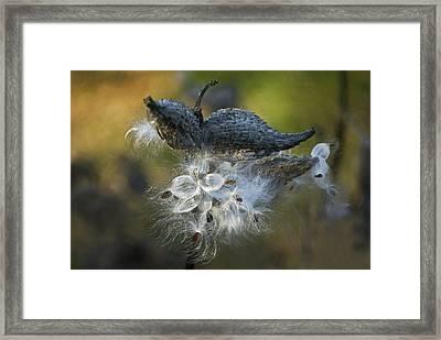 Milkweed Framed Print