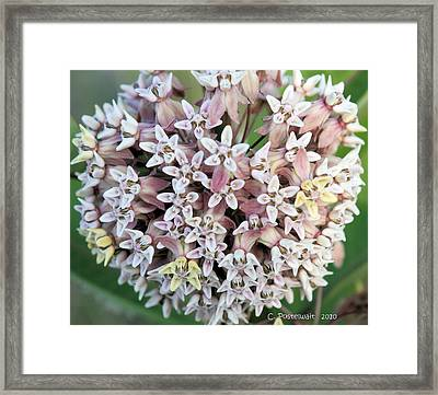 Milkweed Flower Ball Framed Print