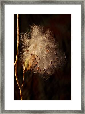 Milkweed Going To Seed Framed Print by R Dodge Woodson