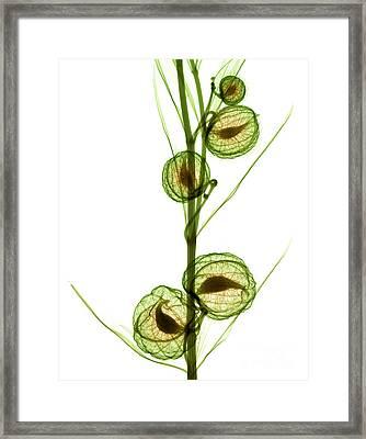 Milkweed, Gomphocarpus Physocarpus Framed Print by Ted Kinsman