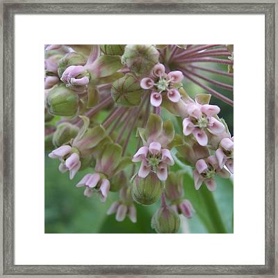 Milkweed I Framed Print by Anna Villarreal Garbis