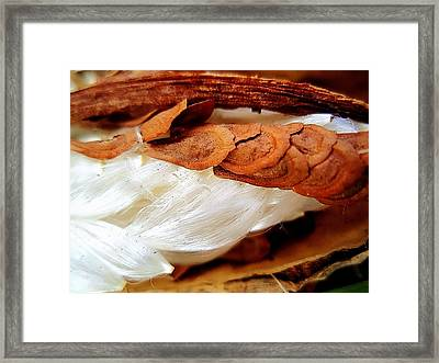 Milkweed Seedpod Framed Print