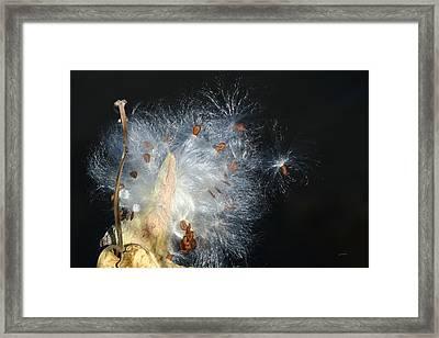 Milkweed Seeds On Winds Breath Framed Print by Gretchen Wrede