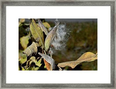 Milkweed Seeds Taking Flight Framed Print